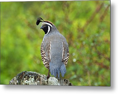 California Quail Metal Print by Gary Langley