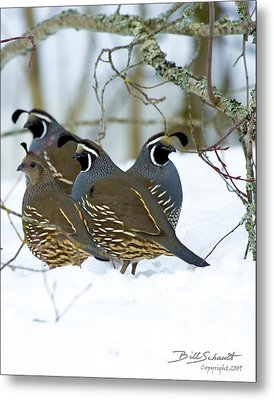 California Quail In North Idaho Metal Print by Bill Schaudt
