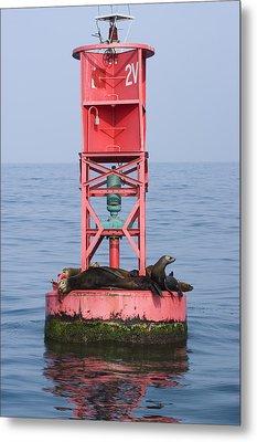 California Sea Lions Zalophus Metal Print by Rich Reid