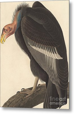 Californian Vulture Metal Print by John James Audubon
