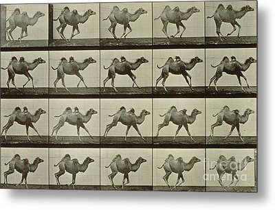 Camel Metal Print by Eadweard Muybridge