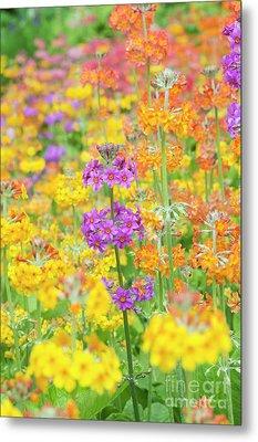 Candelabra Primula Flowers Metal Print by Tim Gainey