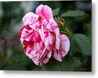 Candy Striped Rose Metal Print by Diana Haronis