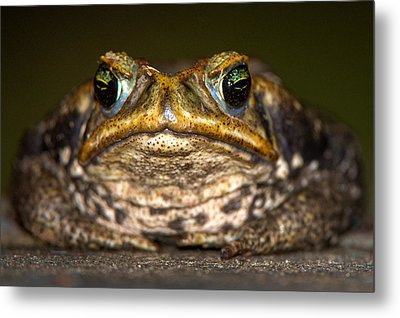 Cane Toad Rhinella Marina, Pantanal Metal Print by Panoramic Images