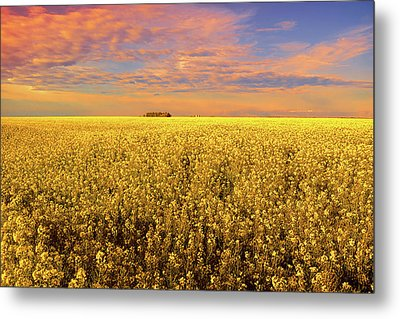 Canola Field Sunset Landscape Photography Metal Print by Ann Powell