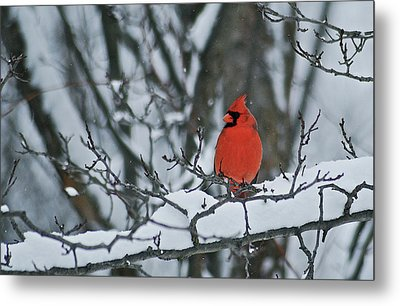 Cardinal And Snow Metal Print by Michael Peychich