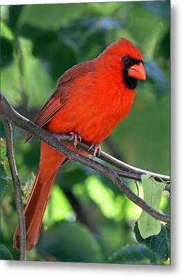 Cardinal Metal Print by Juergen Roth