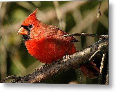 Cardinal Up Close Metal Print by Alan Lenk