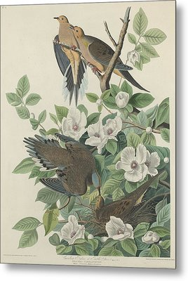 Carolina Pigeon Or Turtle Dove Metal Print by John James Audubon