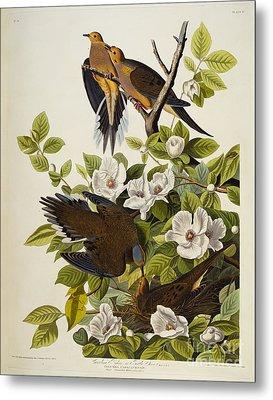 Carolina Turtledove Metal Print by John James Audubon
