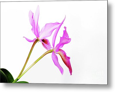 Cattleya Guatemalensis Metal Print by Charline Xia