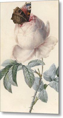 Centifolia Rose With Peacock Butterfly Metal Print by Pierre Joseph Redoute
