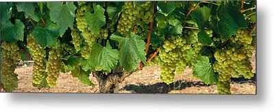 Chardonnay Grapes On The Vine, Napa Metal Print by Panoramic Images