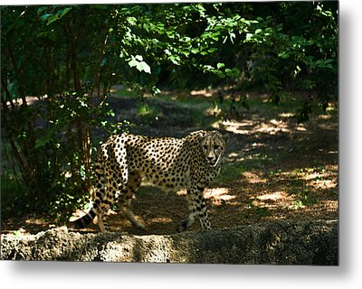 Cheetah On The In The Forest 2 Metal Print by Douglas Barnett