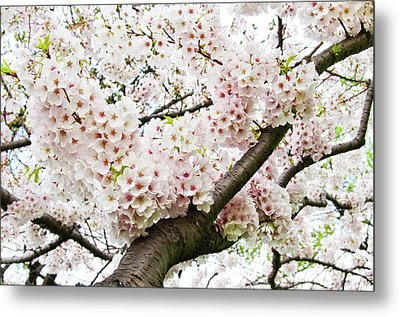 Cherry Blossom Metal Print by Sky Noir Photography by Bill Dickinson