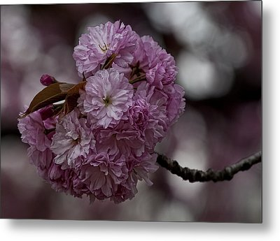 Cherry Blossoms 2 Metal Print by Robert Ullmann