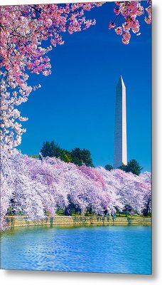 Cherry Blossoms Metal Print by Don Lovett