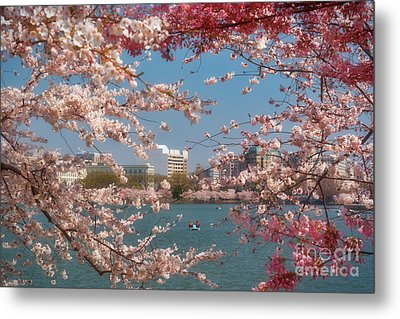 Cherry Blossoms On The Edge Of The Tidal Basin Three Metal Print by Susan Isakson