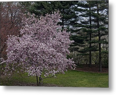 Cherry Tree And Blossoms Metal Print by Robert Ullmann