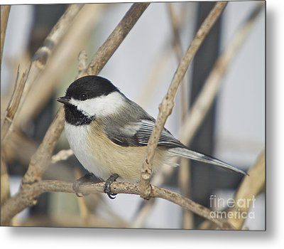 Chickadee-5 Metal Print by Robert Pearson