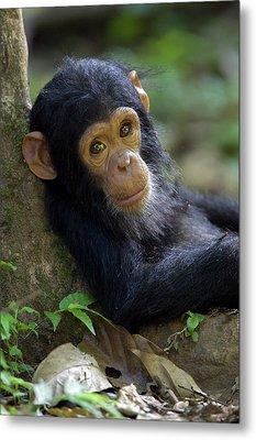 Chimpanzee Pan Troglodytes Baby Leaning Metal Print by Ingo Arndt