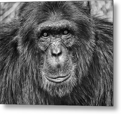 Chimpanzee Portrait 1 Metal Print by Richard Matthews