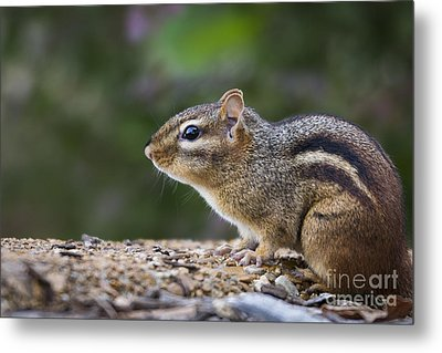 Chipmunk   Metal Print by Andrea Silies