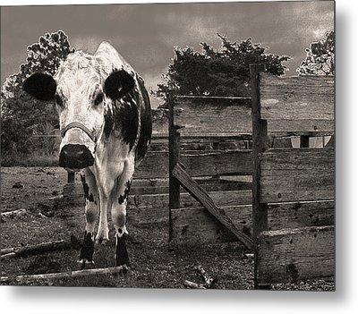 Chocolate Chip At The Stables Metal Print by T Brian Jones