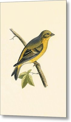Citril Finch Metal Print by English School