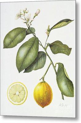 Citrus Bergamot Metal Print by Margaret Ann Eden