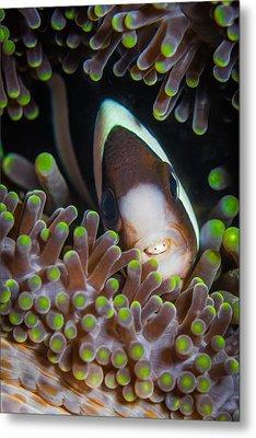 Clarks Anemone Fish Metal Print by J Gregory Sherman