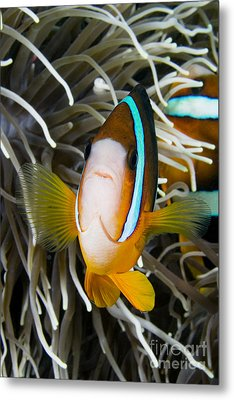 Clarks Anemonefish Metal Print by Dave Fleetham - Printscapes