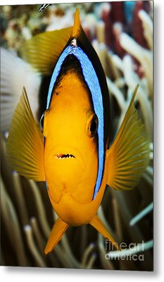Clarks Anemonefish Face Metal Print by Dave Fleetham - Printscapes