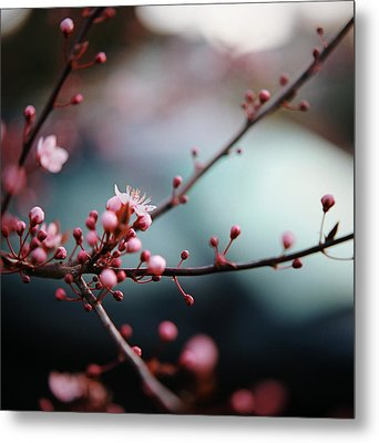 Close-up Of Plum Blossoms Metal Print by Danielle D. Hughson