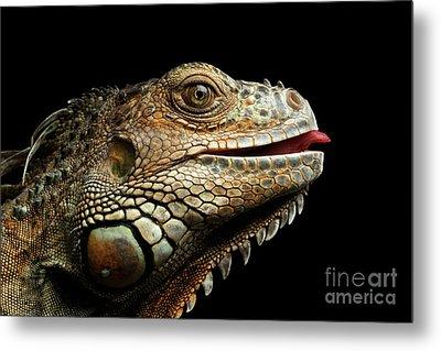 Close-upgreen Iguana Isolated On Black Background Metal Print by Sergey Taran
