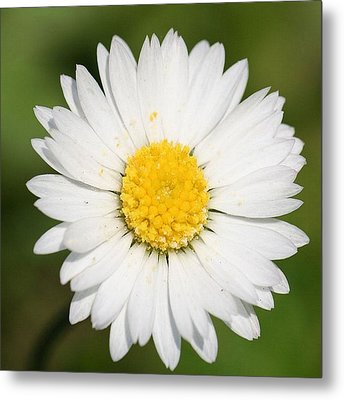 Closeup Of A Beautiful Yellow And White Daisy Flower Metal Print by Tracey Harrington-Simpson