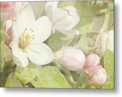 Closeup Of Apple Blossoms In Early Metal Print by Sandra Cunningham