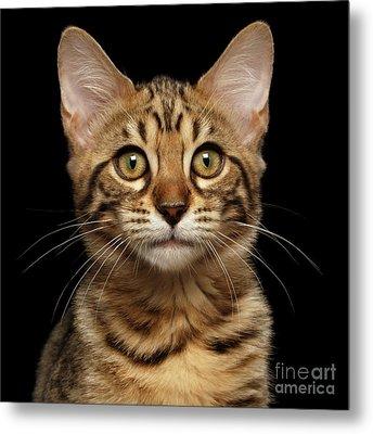 Closeup Portrait Of Bengal Kitty Isolated Black Background Metal Print by Sergey Taran