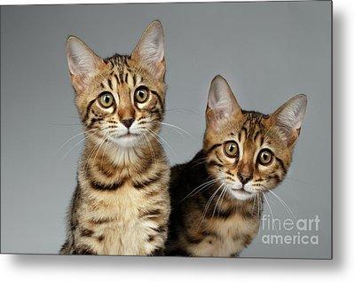 Closeup Portrait Of Two Bengal Kitten On White Background Metal Print by Sergey Taran