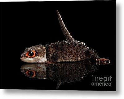 Closeup Red-eyed Crocodile Skink, Tribolonotus Gracilis, Isolated On Black Background Metal Print by Sergey Taran