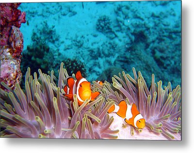 Clown Fishes Metal Print by Takau99