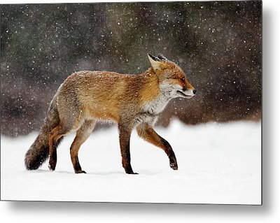 Cold As Ice - Red Fox In A Snow Blizzard Metal Print by Roeselien Raimond