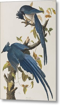 Columbia Jay Metal Print by John James Audubon