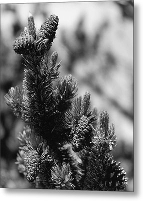 Conifer Metal Print by Allan McConnell