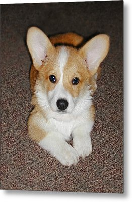 Corgi Puppy Lying Down Metal Print by Laurie With