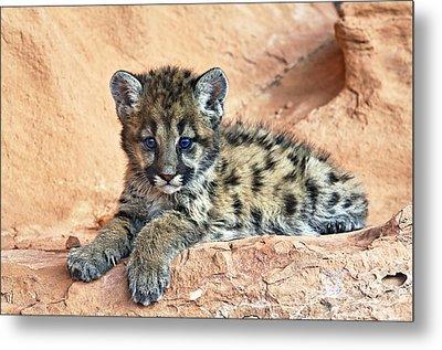 Cougar Kitten Resting Metal Print by Melody Watson