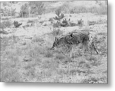 Coyote Blending In Metal Print by Christine Till