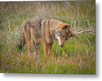 Coyote Metal Print by Carl Jackson