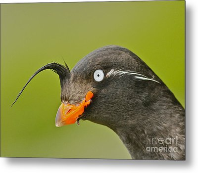 Crested Auklet Metal Print by Desmond Dugan/FLPA