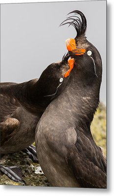 Crested Auklets Metal Print by Sunil Gopalan
